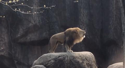 【動画あり】ネコ科である『ライオン』『トラ』『ジャガー』『ヒョウ』『ユキヒョウ』『ピューマ』『チーター』、それぞれの鳴き声を比較してみた結果wwwwwwwwwww