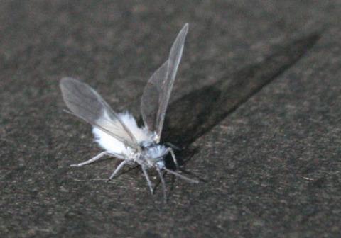 北海道各地で雪虫が大量発生し、ヤバいと話題に!ウワアアアアアアアアアアアアア