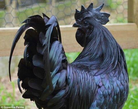 【動画あり】皮だけでなく、骨も身も黒い超レアな鶏が現る! 闇市場では100万円以上の値段が付けられる可能性も…