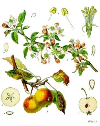 Malus_domestica_-_Köhler–s_Medizinal-Pflanzen-108