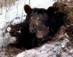 359_and_cub_emerging_1985