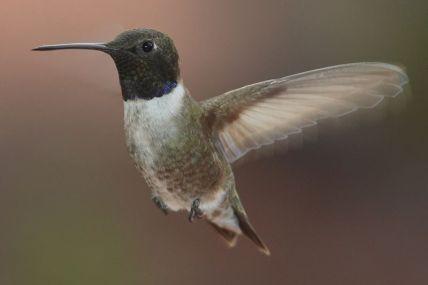 black_chinned_hummingbird