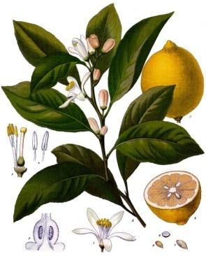 lemon_illustration