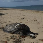 Slow death as turtle shell is cracked by boat strike
