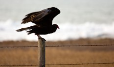 There are many buzzards along the Central Coast.
