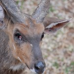 Bush Buck with One Eye