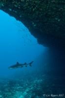 Sharks at Lissenung Island