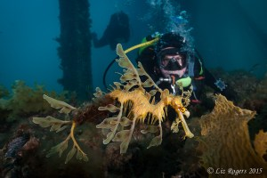 Leafy seadragon under Rapid Bay Jetty