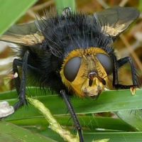 tachina-grossa-the-giant-tachinid-flyclip