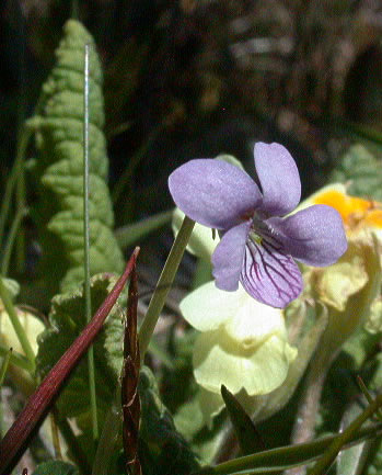 060505-viola-palustris