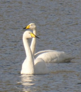 Whooper Swans, a winter visitor to our area and a Scottish Biodiversity List species