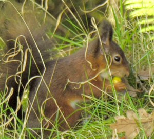 Red Squirrel at Inverawe, an SBL mammal