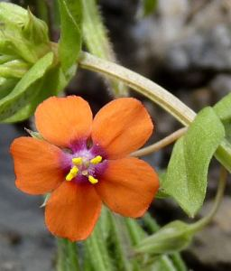 Scarlet Pimpernel, an SBL flowering plant species.  Found by Marion Moir on a LNHG visit to Easdale