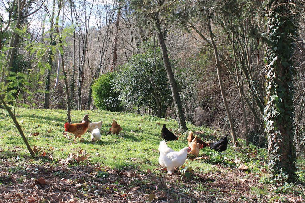 gallinas libres felices