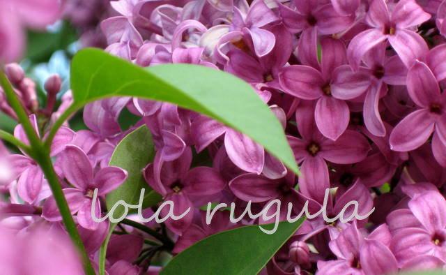 lola_rugula_lilacs