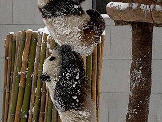Panda Bear Team Work