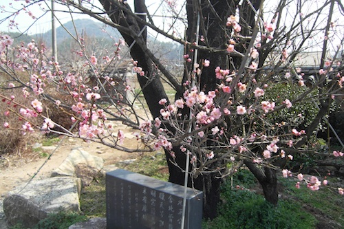 A 650-year-old cherry tree in blossom