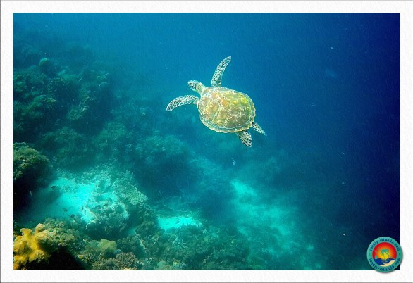 Meeresschildkröte bei Moalboal