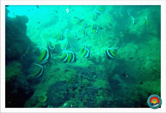 Wimpelfisch Schwarm im Coral Garden