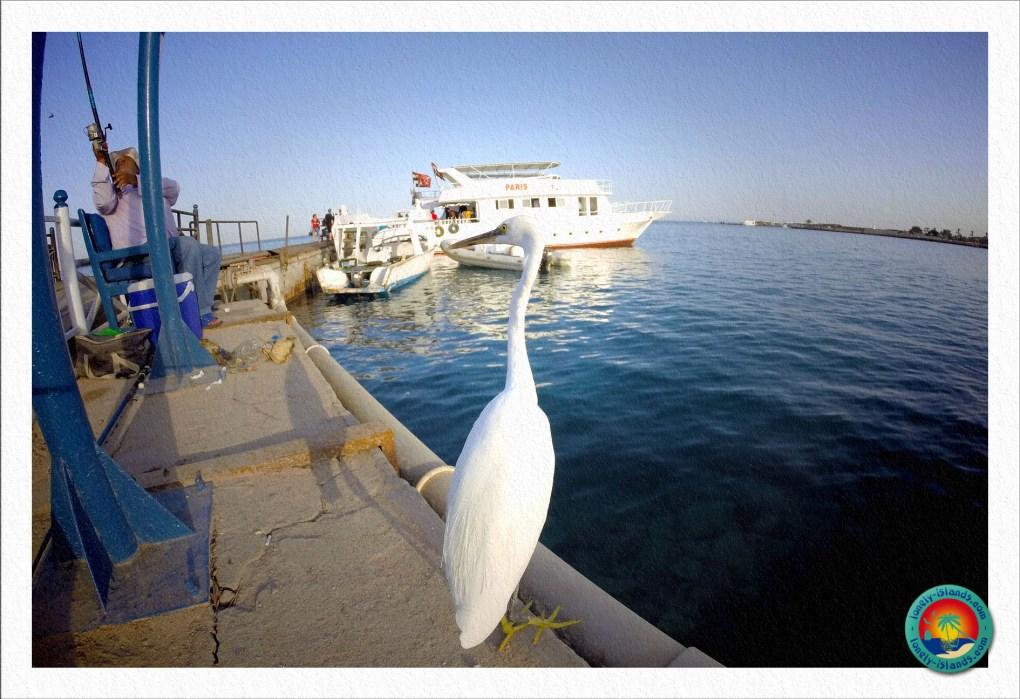 Weißer Fischreiher
