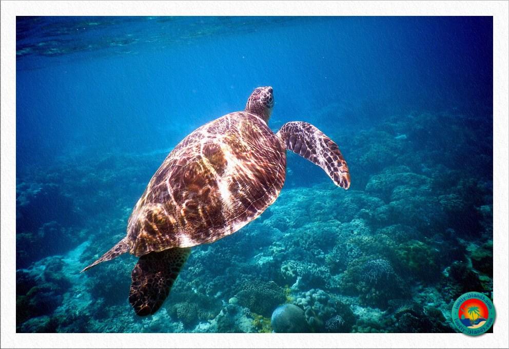 Grüne Meeresschildkröte bei Apo Island