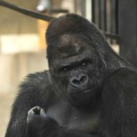 Women Swoon Over Handsome Gorilla at Japanese Zoo