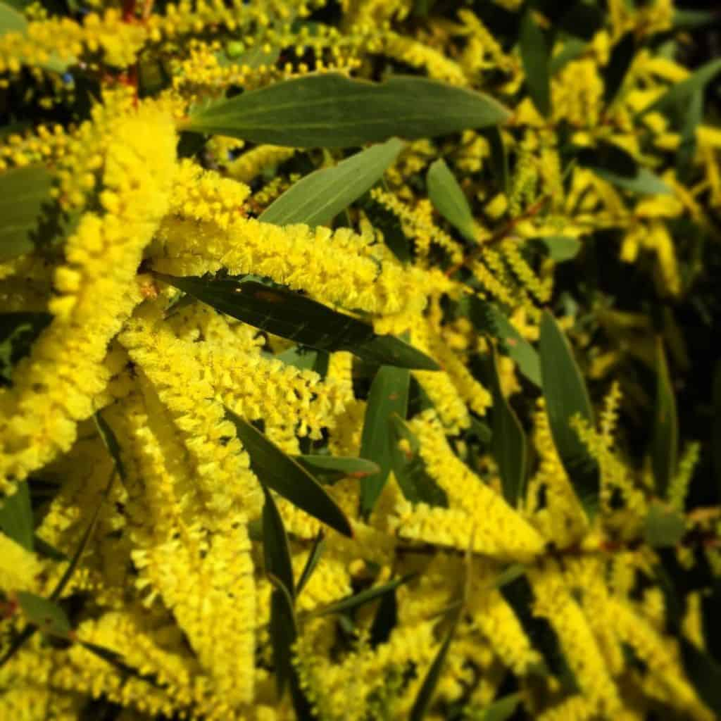 Its a wattle Acacia explosion in Sydney Harbour National Parkhellip