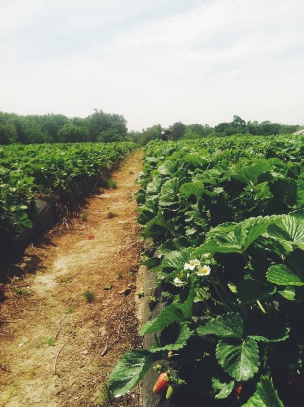 Strawberry fields 2