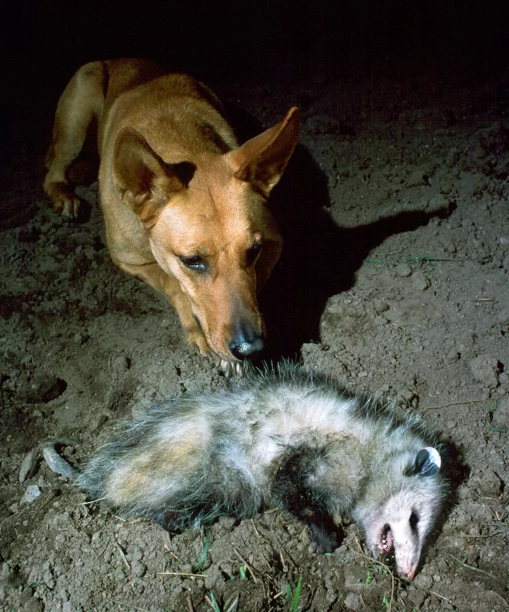 Unique Possum Playing Dead Are Possums A Closer Look At This Do Possums Bite Cats Do Australian Possums Bite houzz-03 Do Possums Bite