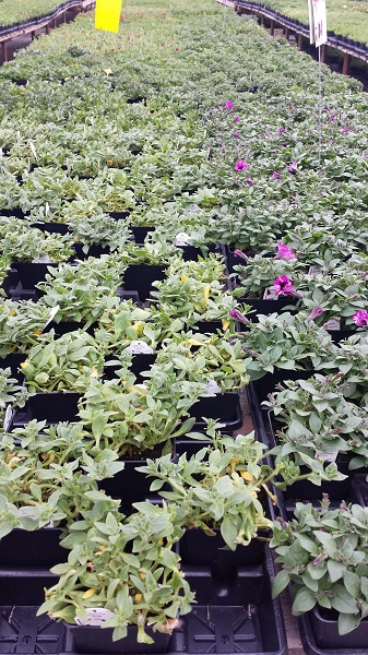 Hillside greenhouses (4)