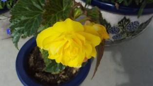 Begonia (7)
