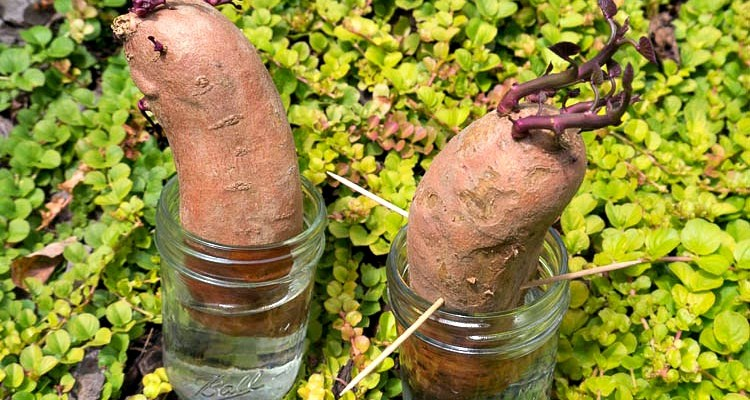 Sweet Potato Vine Experiment