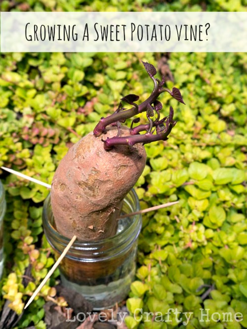 grow your own sweet potato vine