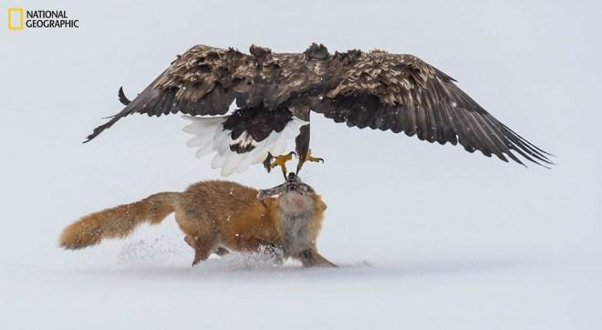 Орлан-белохвост атакует лису с рыбой