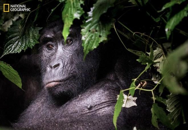 Застенчивая горилла