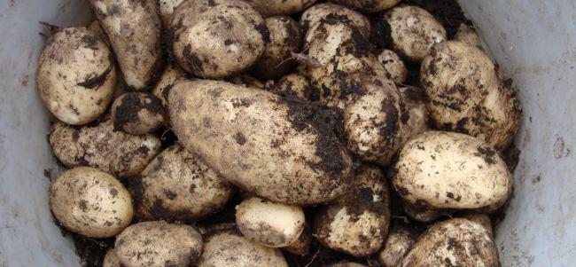Super Success Strategies: Potatoes