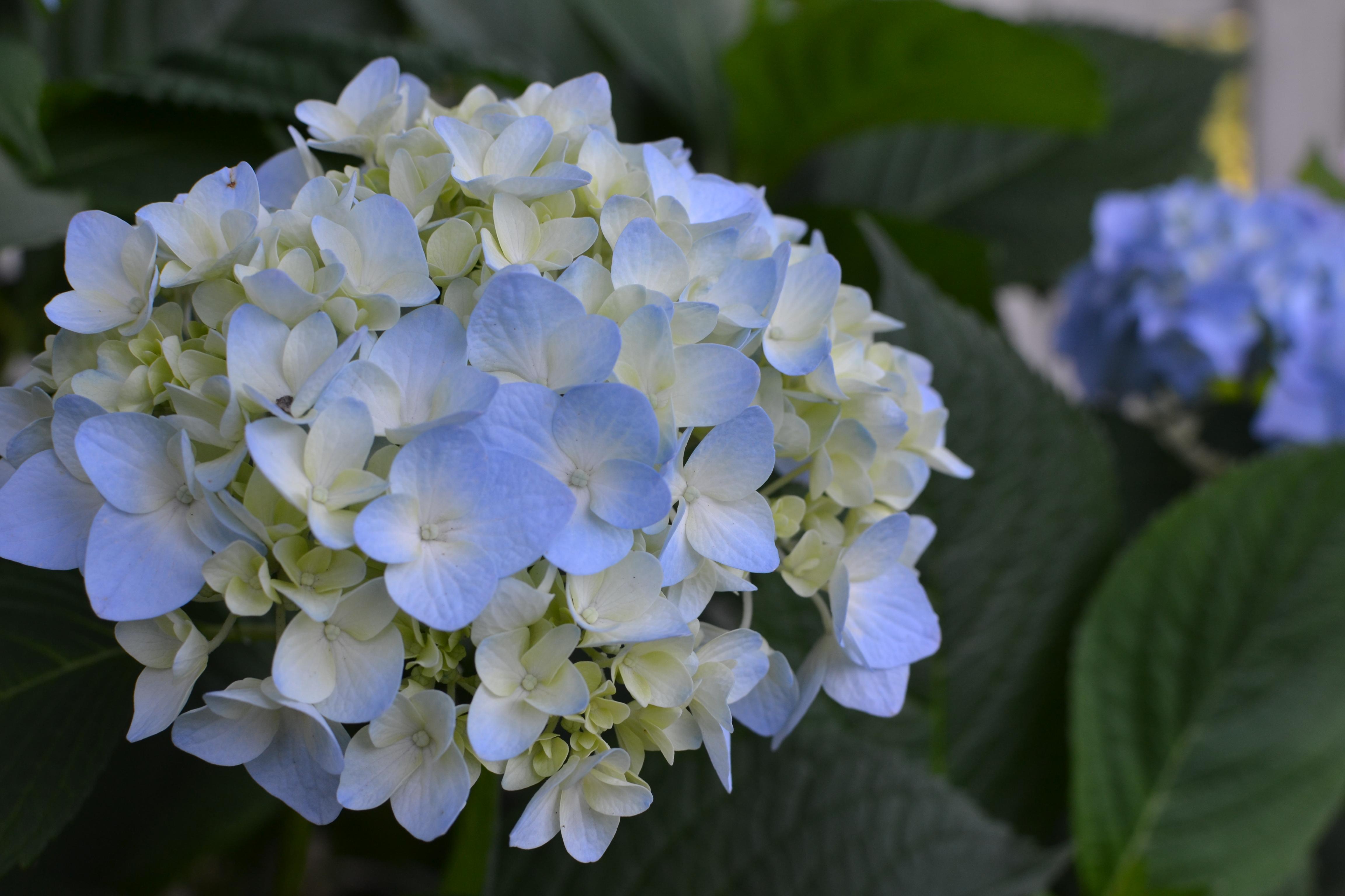 Fun My Hydrangea Love Love Giver Blushing Bride Hydrangea Wilting Blushing Bride Hydrangea Blue houzz 01 Blushing Bride Hydrangea