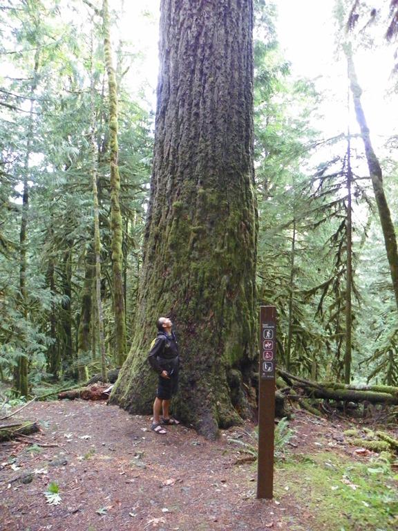 800 year-old fir