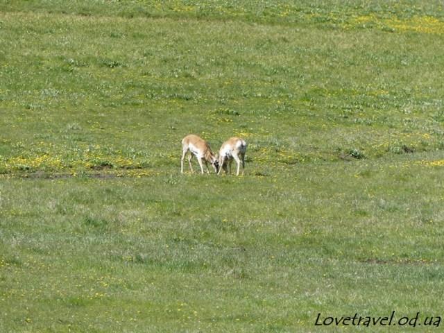 animals-in-yellowstone-1
