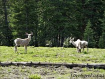 animals-in-yellowstone-12