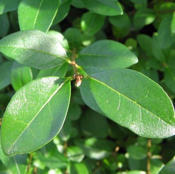 листья бирбчины на фото