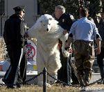 Polar Bear Perp Walk