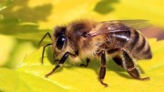 A bee (image: Wikipedia)