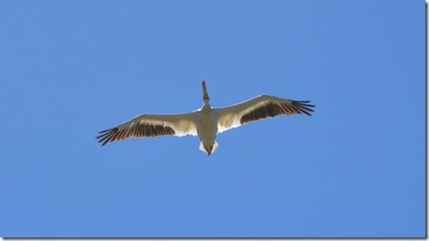 American-White-Pelican-cu