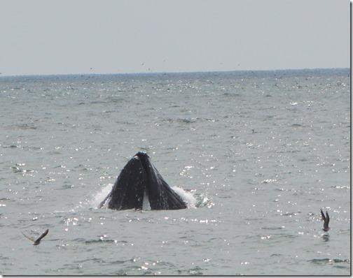 humpback-4