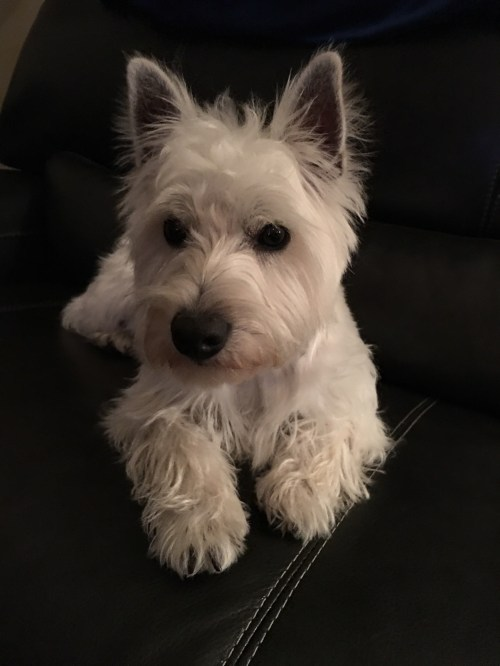 Adorable Need All Terrier Rescue Tigard All Terrier Rescue Kgw He Is All Very Playful Very Frankie Came To Rescuebecause His Family Have Time To Devote To Lone Star Westie Rescue Helping Westies