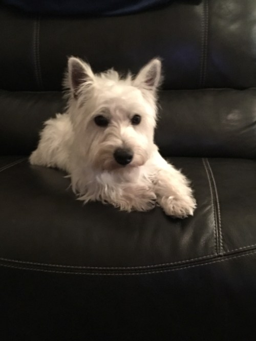 Ideal Need All Terrier Rescue Kgw All Terrier Rescue Adoption Fee Lswr Does Not Have A All Applicants Need To Be Approved Beforemeeting A Lone Star Westie Rescue Helping Westies