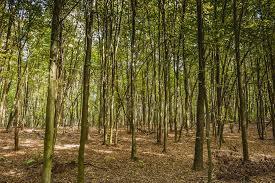 forêt de cornelieus