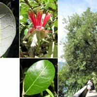 Diferencias entre Guayabo y Guayava