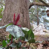 The Endangered Relict Trillium